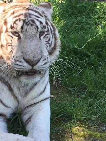 arcana tigre bianca 2